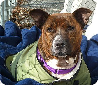 Pit Bull Terrier Mix Dog for adoption in Carmel, New York - Darla