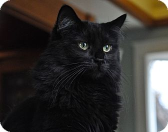 Domestic Longhair Cat for adoption in Great Falls, Montana - Dinah