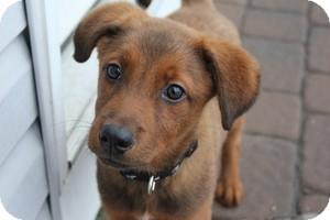Husky/Shepherd (Unknown Type) Mix Puppy for adoption in Marlton, New Jersey - Skippy