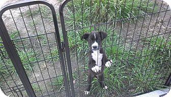 Labrador Retriever Mix Puppy for adoption in Bowie, Maryland - Wyatt