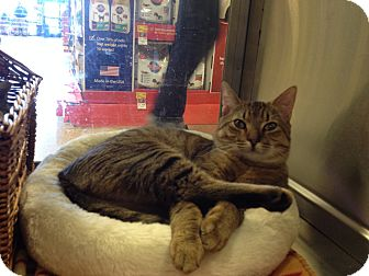 Domestic Shorthair Cat for adoption in East Hanover, New Jersey - Beasty