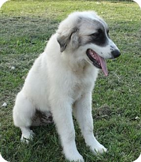 Great Pyrenees Mix Puppy for adoption in Salem, New Hampshire - Wooley