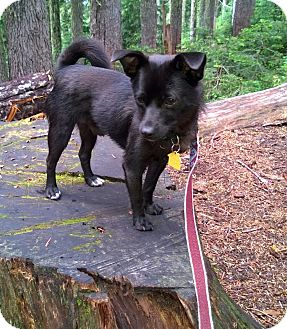 Pug/Chihuahua Mix Puppy for adoption in Kirkland, Washington - Spots