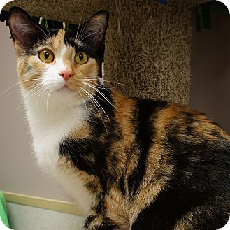 Domestic Shorthair Cat for adoption in Naperville, Illinois - Sonia