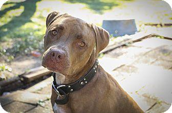 Mastiff/Pit Bull Terrier Mix Dog for adoption in Des Peres, Missouri - Jax