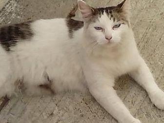 Maine Coon Cat for adoption in Cerritos, California - Marisol