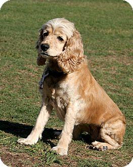 Cocker Spaniel Dog for adoption in Santa Barbara, California - CRYSTAL