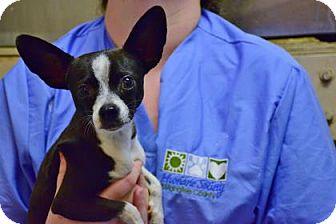 Chihuahua Mix Dog for adoption in Bradenton, Florida - Penelope