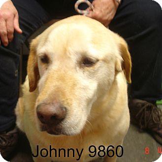 Labrador Retriever Dog for adoption in Manassas, Virginia - Johnny