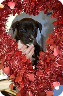 Labrador Retriever Mix Puppy for adoption in Bradenton, Florida - Valentine