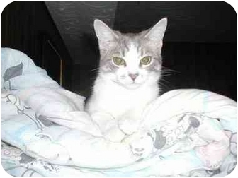 Domestic Shorthair Cat for adoption in Toronto, Ontario - Kealey