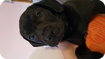 Labrador Retriever Mix Puppy for adoption in Chattanooga, Tennessee - Bayou