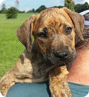 Labrador Retriever/Corgi Mix Puppy for adoption in Orange Lake, Florida - Leo