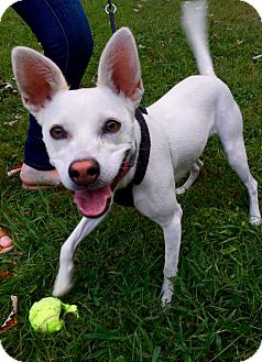 Jack Russell Terrier/Chihuahua Mix Dog for adoption in Goodlettsville, Tennessee - Oli