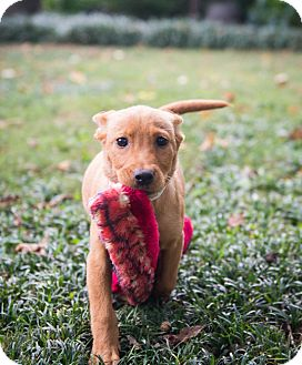 Labrador Retriever Mix Puppy for adoption in Cumming, Georgia - Reese (Candy Pup)