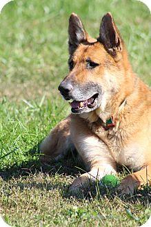 German Shepherd Dog Dog for adoption in Greeneville, Tennessee - Konig