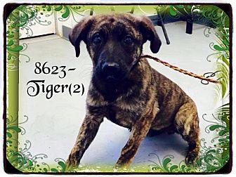 Labrador Retriever/Pit Bull Terrier Mix Dog for adoption in Dillon, South Carolina - Tiger 2