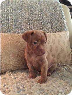 Dachshund/Pug Mix Puppy for adoption in Chicago, Illinois - Grayson