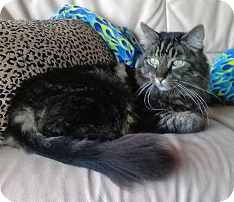 Maine Coon Cat for adoption in West Hills, California - Moe