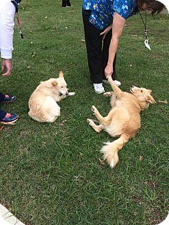 Golden Retriever/Collie Mix Dog for adoption in Groton, Massachusetts - Joseph