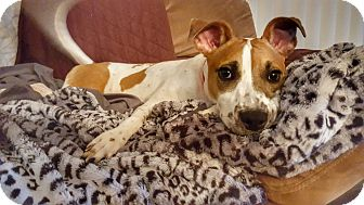 Jack Russell Terrier/Foxhound Mix Puppy for adoption in Elgin, Illinois - Melli