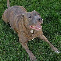 American Pit Bull Terrier Dog for adoption in Fredericksburg, Virginia - Mecca- Courtesy Listing