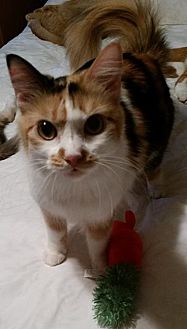Calico Cat for adoption in Rosamond, California - Sequoia