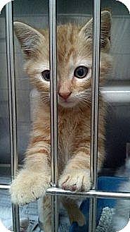 Domestic Mediumhair Kitten for adoption in Sandersville, Georgia - 146244 D