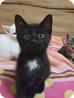 Domestic Shorthair Kitten for adoption in Huntsville, Alabama - Ember
