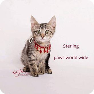 Domestic Longhair Kitten for adoption in Corona, California - STERLING