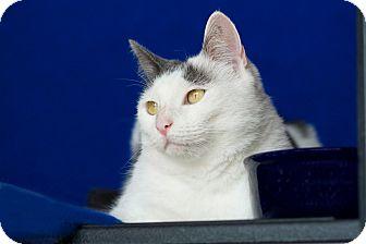Domestic Shorthair Cat for adoption in Coronado, California - Jasmine