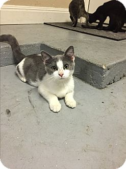 Domestic Shorthair Kitten for adoption in Austin, Texas - PattyCake