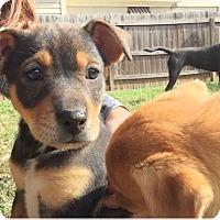 Adopt A Pet :: TAFFY - Nashville, TN