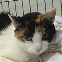 Calico Cat for adoption in Owenboro, Kentucky - AHNA!