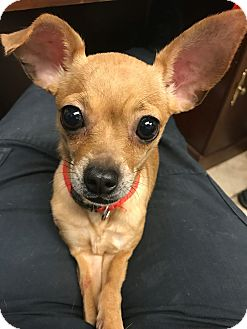 Chihuahua Mix Dog for adoption in Houston, Texas - Marjory