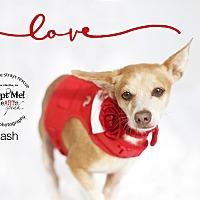 Chihuahua Mix Dog for adoption in Aqua Dulce, California - Cash