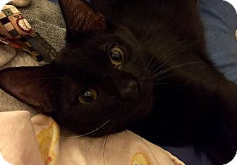 Bombay Cat for adoption in Browns Mills, New Jersey - Rolly