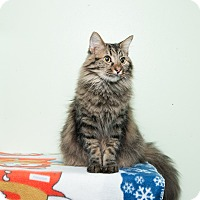 Maine Coon Cat for adoption in Chicago, Illinois - Teddy