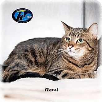 Domestic Shorthair Cat for adoption in Howell, Michigan - Remi