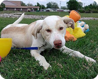 Labrador Retriever Mix Puppy for adoption in Glenpool, Oklahoma - Joey