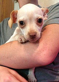 Chihuahua Mix Puppy for adoption in Kittery, Maine - Sebastian