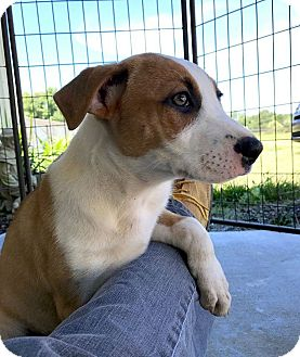 Hound (Unknown Type)/Terrier (Unknown Type, Medium) Mix Puppy for adoption in St. Francisville, Louisiana - Kelsey
