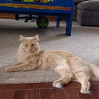 Domestic Mediumhair Cat for adoption in Ortonville, Michigan - Miss Teddy