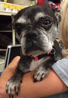 Boston Terrier/French Bulldog Mix Dog for adoption in Irmo, South Carolina - Fifi