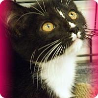 Adopt A Pet :: Adorable Kittens - Anaheim Hills, CA