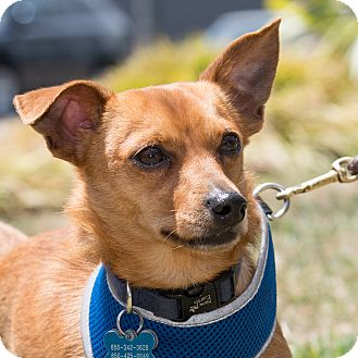 Dachshund/Chihuahua Mix Dog for adoption in San Francisco, California - Quinn