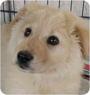 Chow Chow Mix Puppy for adoption in Santee, California - Princess