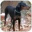 Photo 2 - Doberman Pinscher Puppy for adoption in Arlington, Virginia - Dana