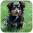 Photo 3 - Dachshund Mix Dog for adoption in Spring Valley, California - Peluche