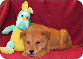 Golden Retriever/Collie Mix Puppy for adoption in Salem, New Hampshire - Pinkie